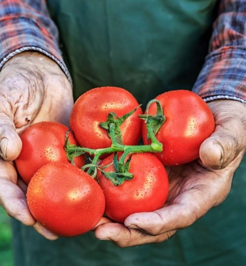Close-up of farmer holding tomatoes, high angle view.