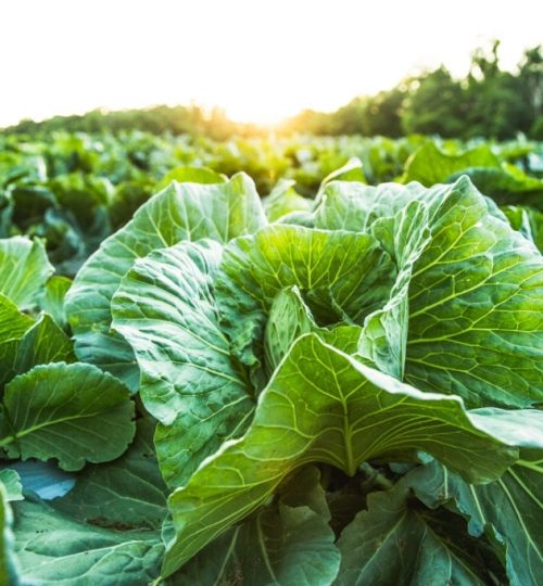 Cabbage, cabbage field, organic food, organic farm, organic farming, farm, farming, farm field, farm no people.   Conceptual image for fresh, freshness, natural, healthy, healthy lifestyle, healthy food, healthy eating, farm to table.